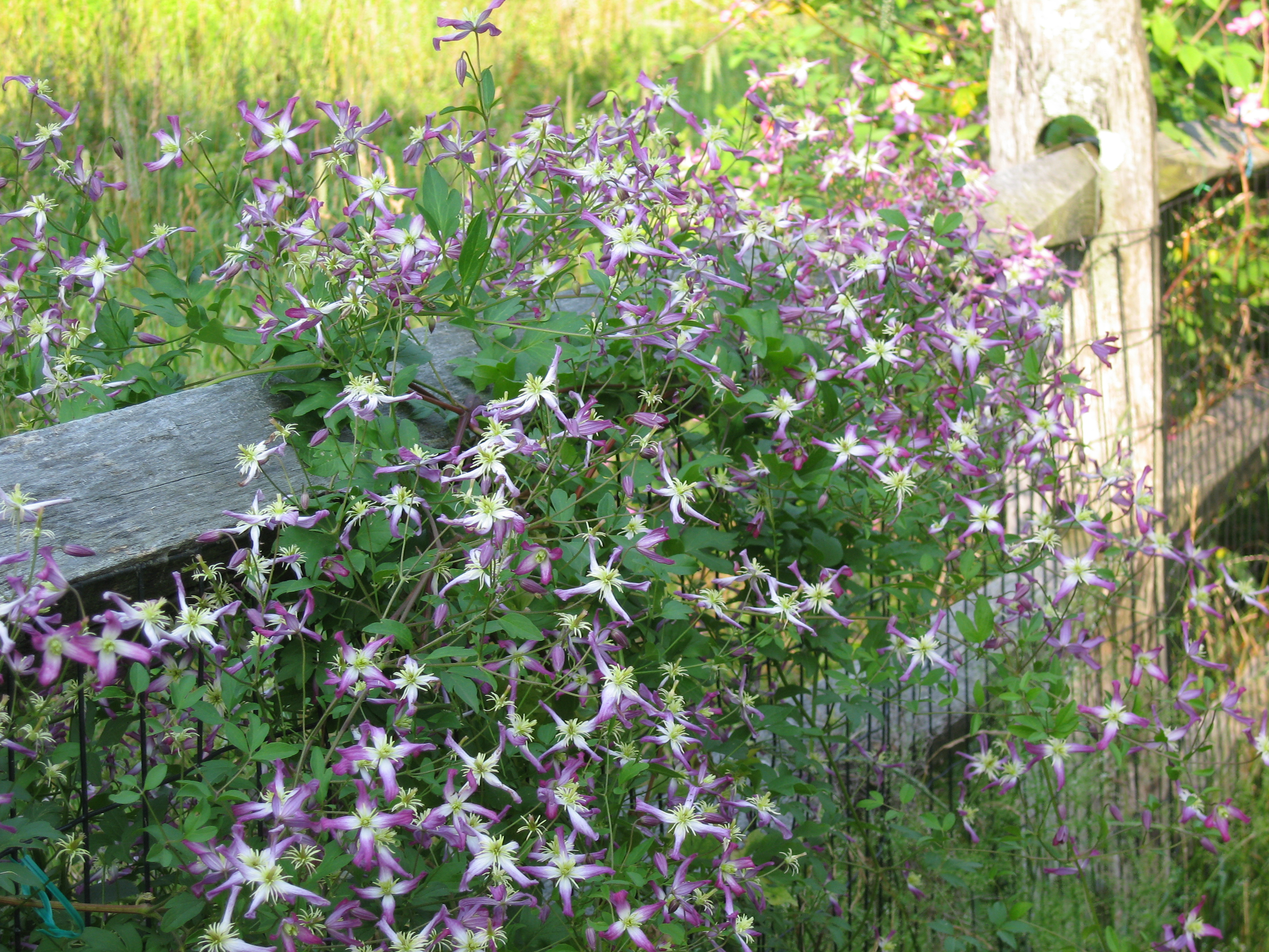 Clematis Triternata Rubromarginata Is The Mouthful Of A Name For Lovely Little Violet And White Species That Has Been Flowering Delicately Weeks