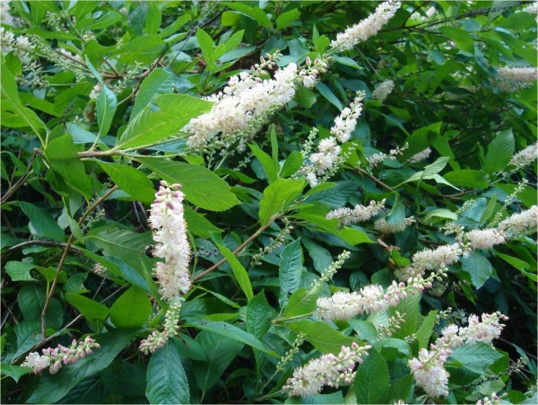 clethra flowers