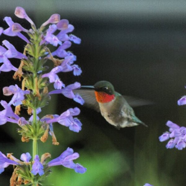 hummingbird-on-nepeta